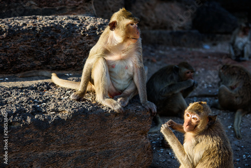 In de dag Aap Long-tailed macaque or crab-eating macaque sitting on the laterite or red-rock wall