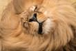 Adult male lion (Panthera leo) shakes shaggy mane. Close-up portrait of big furry cat.