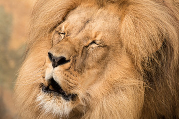 Close-up portrait of adult male lion (Panthera leo) with closed eyes and half-open mouth