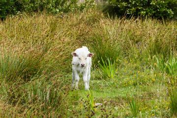 Weißes Kalb auf Weide