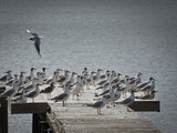 Rookery on the boat pier. A flock of large seagulls