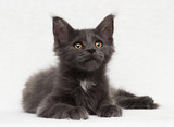 gray kitten maine coon on a white background