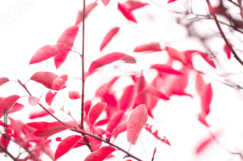 Surreal magenta coloured leaves by jziprian