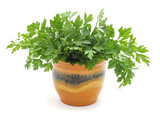Bunch of green parsley in weight. - 216191453