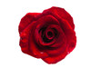 Quadro red rose isolated