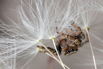Jumping spider and dandelion fluff
