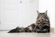 Молодой кот Мэйн Кун лежит на светлом полу.Горизонтально.