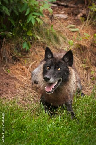 Aluminium Wolf Black Phase Grey Wolf (Canis lupus)