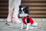 A black fluffy white, long-haired funny dog with emale sex with larger eyes the Chihuahua breed, dressed in red knitted dress. The animal sits near feet of owner woman background of garage outside