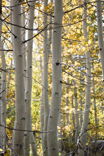 Birch Tree Thicket in the Fall 2 - 216211229