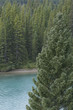 Beautiful view of Bow River viewed through dense evergreens in Alberta