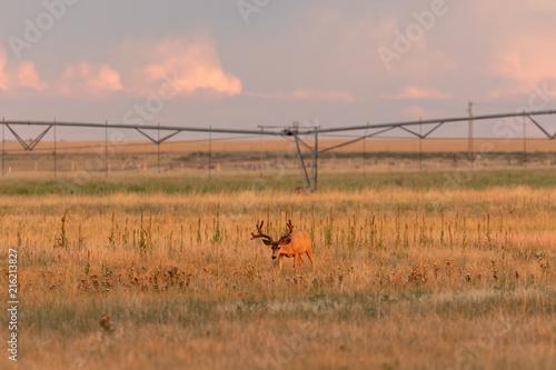 Fotobehang Donkergrijs Mule deer Buck in Velvet