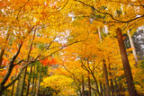 紅葉シーズンの京都、紅葉の森   - 216222081