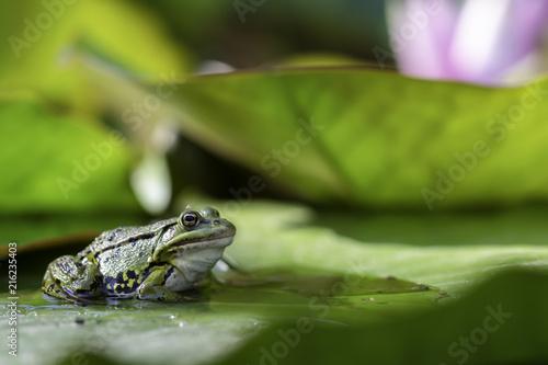 Foto Spatwand Kikker green frogs sitting on water lilies in a pond.
