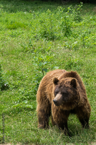 One small brown bear (Ursus Arctos) with green background and copy space