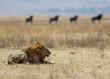 Leone nel parco del Serengeti nella savana