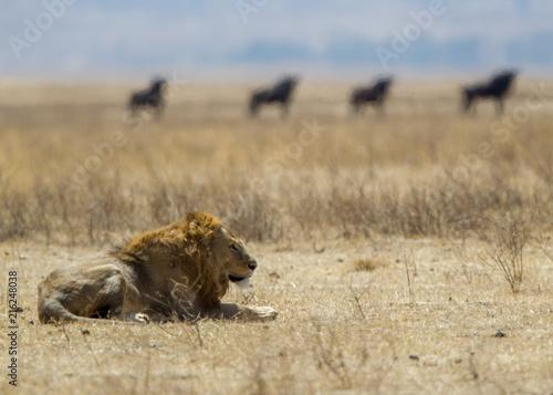 Foto Spatwand Lion Leone nel parco del Serengeti nella savana