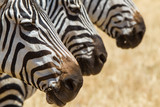 Zebre nel parco del Serengeti Africa Tanzania Kenia