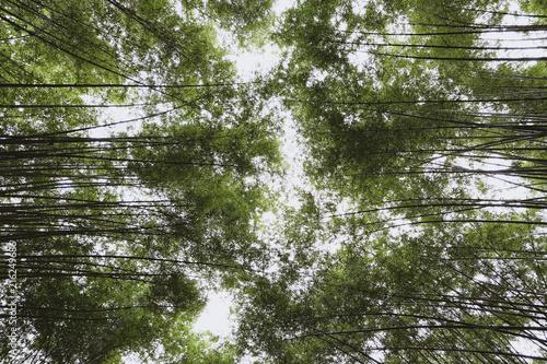 Canvas Bamboe Bamboo forest, Beautiful green natural background at Nakhon Nayok, Thailand