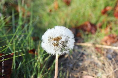 Pusteblume: Abgeblühter Löwenzahn mit Samen - 216251676
