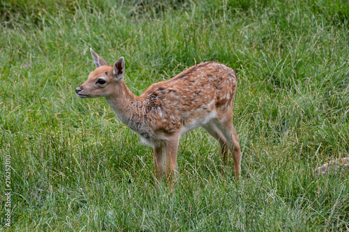 Canvas Hert Cute spotted fallow