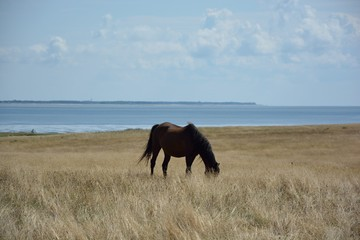 Grasendes Pferd am Meer