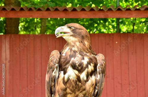 Canvas Eagle eagle