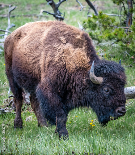 Canvas Bison Western Buffalo