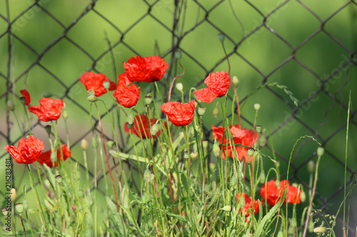 wild poppy grows on meadows, in gardens, on the edge of the road - 216283481
