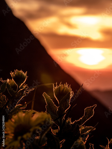 Fotobehang Bruin vertical dramatic sunset behind flowers, silhouette of flowers with summer golden sunset shining at flowers
