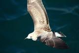 A herring gull flying over the Mediterranean sea near Keramoti, Greece