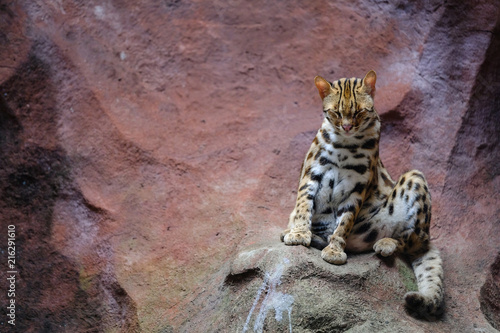 Fototapeta Leopard cat (Prionailurus bengalensis)Looking on a rock with light from above.