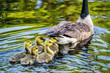 Canadian Geese in Ham Lake, Minnesota