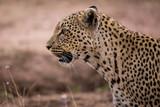 Leopardin