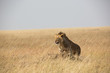 Löwe - Serengeti - Savanne