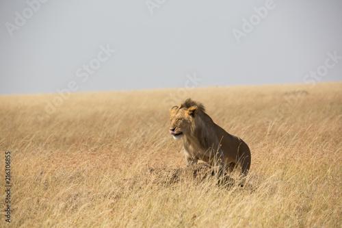 Foto Spatwand Lion Löwe - Serengeti - Savanne
