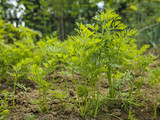 parsley leaves in a vegetable garden - 216307806