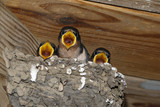 Barn Swallow Chicks (Hirundo rustica) stand on the edge of a nest begging to be fed. - 216309298