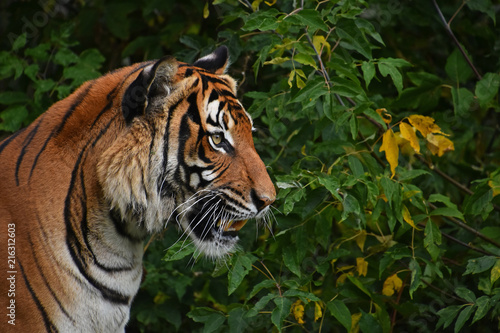 Canvas Tijger Close up side portrait of Indochinese tiger