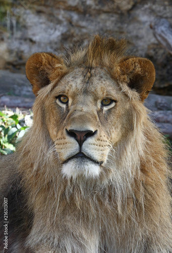 Foto Spatwand Lion Close up portrait of young male African lion