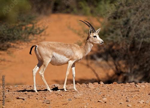 Female Arabian sand gazelle (Gazella marica), Arabian Peninsula  .