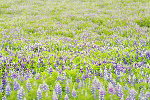 Colorful pattern bokeh of blue and purple wet lupine lupin flowers field in Iceland nature, sunny - 216323404