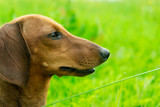 Young Dachshund in green grass on a Sunny day.