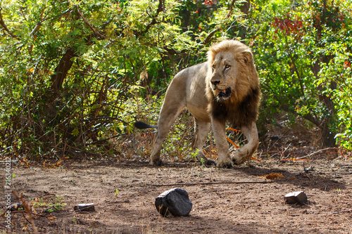 Canvas Lion Dominant male lion walking around in the Kruger National Park in South Africa
