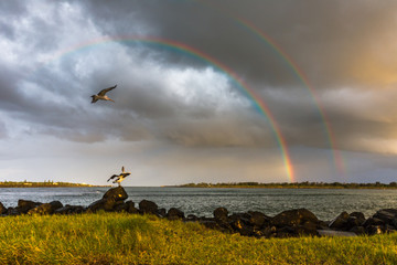 Pelicans and Rainbow