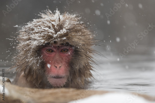 Leinwandbild Motiv Jigokudani Monkey Park , monkeys bathing in a natural hot spring at Nagano , Japan