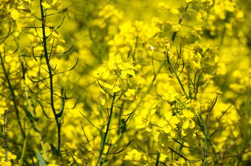 Plexiglas Geel Yellow colza field