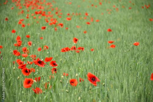 Poppy field - 216379668