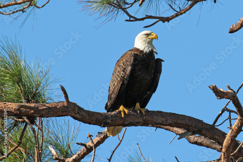 Canvas Eagle Bald eagle perched on a branch