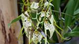Fototapety Spinnenorchidee Brassia